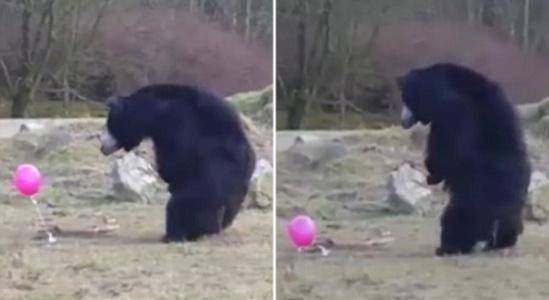 荷兰动物园三只小熊玩气球憨态可掬