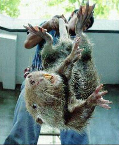 """纽约 动物 日本/网络盛传""""食人巨鼠""""至今无证据..."""