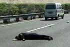 男子趴高速中央睡觉