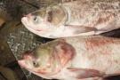 """野生胖头鱼吃起来怎么""""面面""""的?有南方鱼运到北方冒充"""