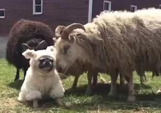 着羊皮的狗混入羊群后 这画面你绝对想不到 哈哈