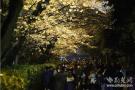 武汉大学樱花如期而至 游人错峰赏夜樱