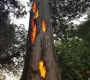 一棵大树从内部燃烧