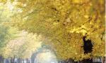 """锦州""""落叶景观""""街道吸引众多市民赏景拍照"""