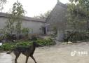 宋代古寺藏身养猪场