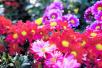 金秋的开封更多彩:满园的菊花正在迎风怒放