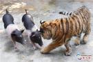 """动物园上演""""虎猪一家亲"""""""