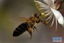 蜜蜂采集花粉