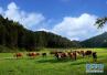 全国最大批次2382头澳洲肉牛登陆青岛 检疫后上餐桌
