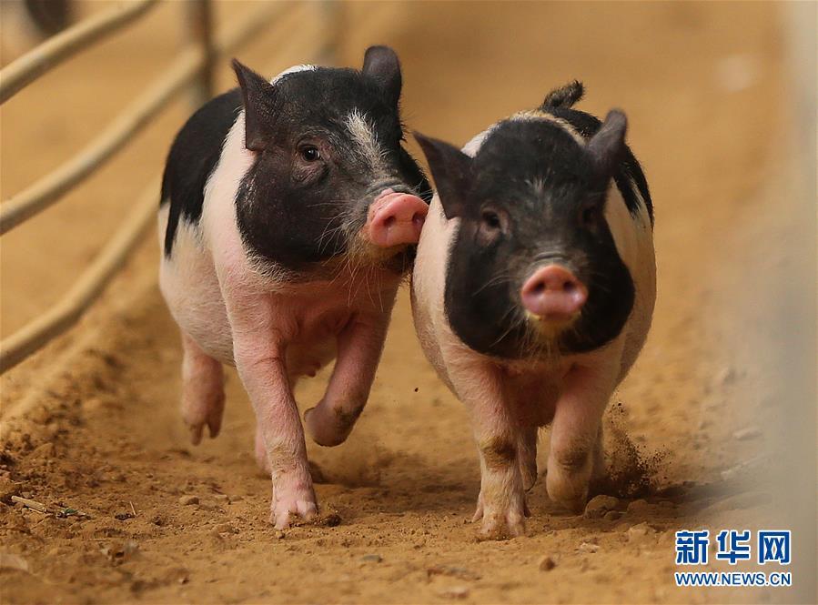 小香猪是什么猪?