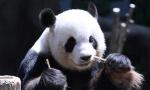 大熊猫靓靓生二宝