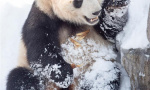 大熊猫在雪地里撒野