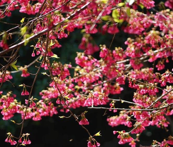樱花初绽引客来
