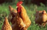 男子怀揣9千元舍不得花 为改善伙食进村民家偷鸡