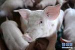 黑龙江省生猪平均出场价格跌破6元 比全国低11.9%