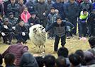 农民斗羊斗鸡大赛