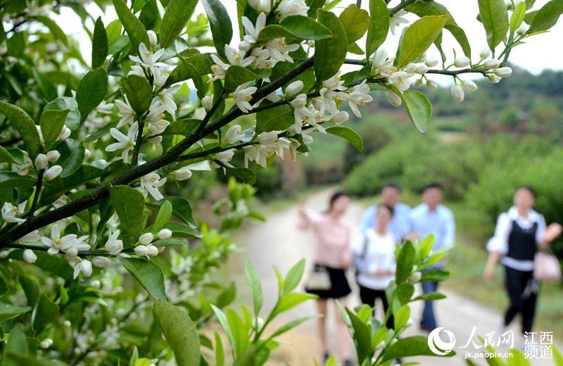 春天里,南丰县70亩蜜橘树绽放洁白的橘花,满城淡雅的花香味吸引四面八方的游客前来踏青游玩闻香。