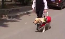 北京 我国导盲犬普及率仅为发达国家0.34%