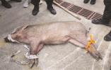 南京有多热?猪猪告诉你:我都下河游泳了!