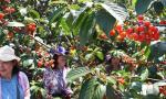山东青岛:樱桃丰收 采摘助农