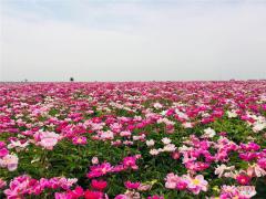 河南郏县:芍药盛开致富花