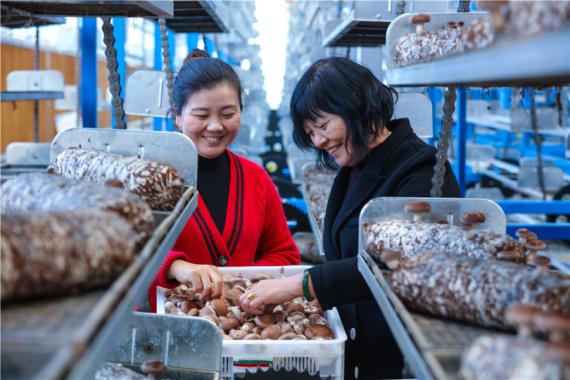 河南光山:金秋时节香菇收获忙