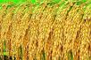 """从水稻里可以""""种""""出""""人血清白蛋白""""这种救命药"""