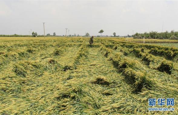 大风降雨致河北成安即将收获的小麦大面积倒伏