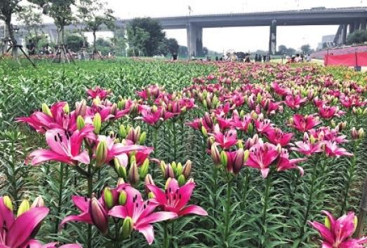 福州花海公园最近种了什么花? 七彩百合将进入盛花期
