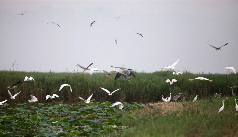 陕西万亩黄河湿地违法开发被毁 无视中央环保督查仍施工