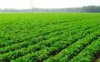 河南省秋粮种植啥变化?玉米持续减少花生猛增