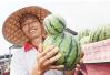 开封瓜农地里西瓜长得怪 外形好像大葫芦