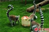 动物们吃特制冰块降温解暑
