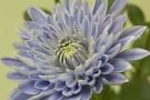 全球首株蓝色菊花