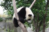 熊猫宝贝的各种搞笑瞬间