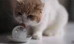 猫咪舔冰避暑
