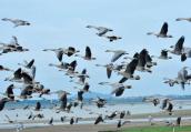 鄱阳湖迎来越冬候鸟迁徙高峰 数量达10万只