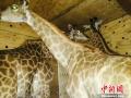 """南非长颈鹿乘机飞郑州 将要""""入住""""这些地方"""