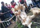 云南现巨型野生蘑菇