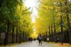 再不去就晚了!实拍北京银杏最美的十个地方