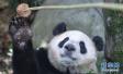 今年全球共繁育圈养大熊猫63仔 种群规模达520只
