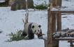 """亚布力熊猫馆的大熊猫""""思嘉""""""""佑佑"""" 见雪就撒欢儿"""