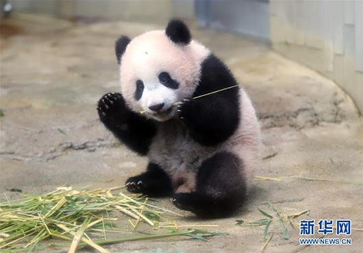 熊猫香香成 网红主播图片 159216 530x369