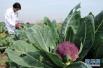 菜花有多种颜色 哪种营养价值更高?