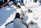 """极地馆企鹅""""放风"""""""