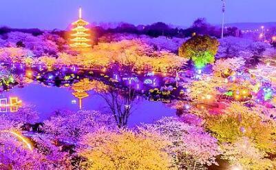 武汉东湖樱花盛放