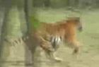 看老虎拼命逃亡的人群