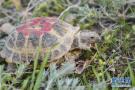 濒危物种四爪陆龟