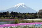 富士山下芝樱绽放