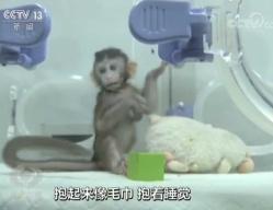 探访克隆猴中中、华华:面对镜头充满好奇